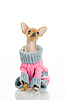 Chihuahua dog in sweater | Stock Foto