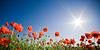 Beautiful poppy field | Stock Foto