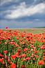 Red poppy field | Stock Foto