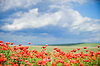 Beautiful red poppy field | Stock Foto