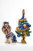 可爱的约克夏附近的圣诞树 | 免版税照片