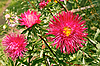 Asters in the flowerbed | Stock Foto