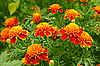 Photo 300 DPI: Marigolds in the flowerbed