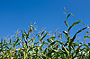 Corn plants | Stock Foto
