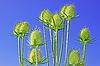 보풀을 세우다의 화서   Stock Foto