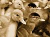 Small domestic ducklings | Stock Foto