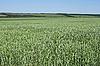 Green wheat field | Stock Foto