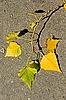 Photo 300 DPI: Aspen twig on asphalt