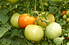 Bunch of big tomatoes  | Stock Foto
