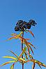 Photo 300 DPI: Herbaceous elder berries
