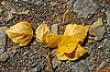 下降杨树枝 | 免版税照片