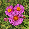 Three asters | Stock Foto