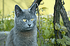 Photo 300 DPI: Gray cat outdoors