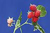 Branch with ripe raspberry | Stock Foto