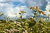 Photo 300 DPI: Buckwheat inflorescence
