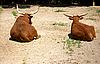 Фото 300 DPI: Дикие буйволы