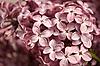 Kwiatostan bzu | Stock Foto