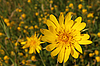 Yellow summer flowers | Stock Foto