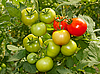 Bunch with green and red tomatoes | Stock Foto