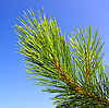 Green pine branch | Stock Foto