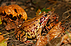 Foto 300 DPI: Frosch in Herbstblättern