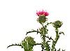 Фото 300 DPI: цветок чертополоха