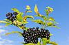 Photo 300 DPI: Elder branch with berries