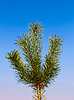 Young pine branch   Stock Foto