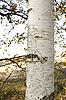 White birch tree trunk | Stock Foto