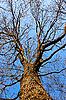 Фото 300 DPI: Кома дуба безлистный