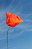 Photo 300 DPI: Red poppy flower