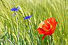 Фото 300 DPI: Васильки и красного мака посреди ячменного поля