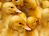 Domestic ducklings | Stock Foto