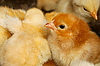 Small chicken | Stock Foto