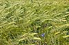 Barley field during flowering period   Stock Foto