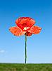 Red poppy flower on field | Stock Foto