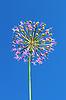 Photo 300 DPI: Allium inflorescence