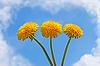 Three dandelion flowers | Stock Foto