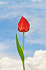 ID 3066946 | Tulip flower | High resolution stock photo | CLIPARTO