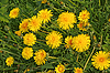 Flowering yellow dandelions | Stock Foto