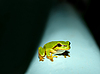 Photo 300 DPI: green frog