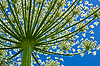 Giant Hogweed (heracleum sphondylium) of below | Stock Foto