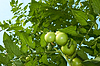 Green tomatoes of below | Stock Foto