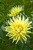 노란색 달리아 꽃 | Stock Foto