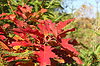 ID 5329212   Bright red oak leaves in autumn season   High resolution stock photo   CLIPARTO