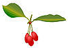 Vector clipart: Cornelian cherries