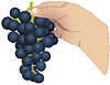Vector clipart: hand with bunch of grapes
