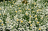 Yellow Daffodil field in spring | Stock Foto