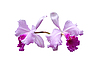 Фото 300 DPI: Фиолетовая орхидея