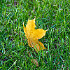 Photo 300 DPI: maple leaf on green grass